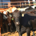 Beef Cattle Budget Spreadsheet For Budget Spreadsheets Available For Small Grain, Stocker Cattle Fall