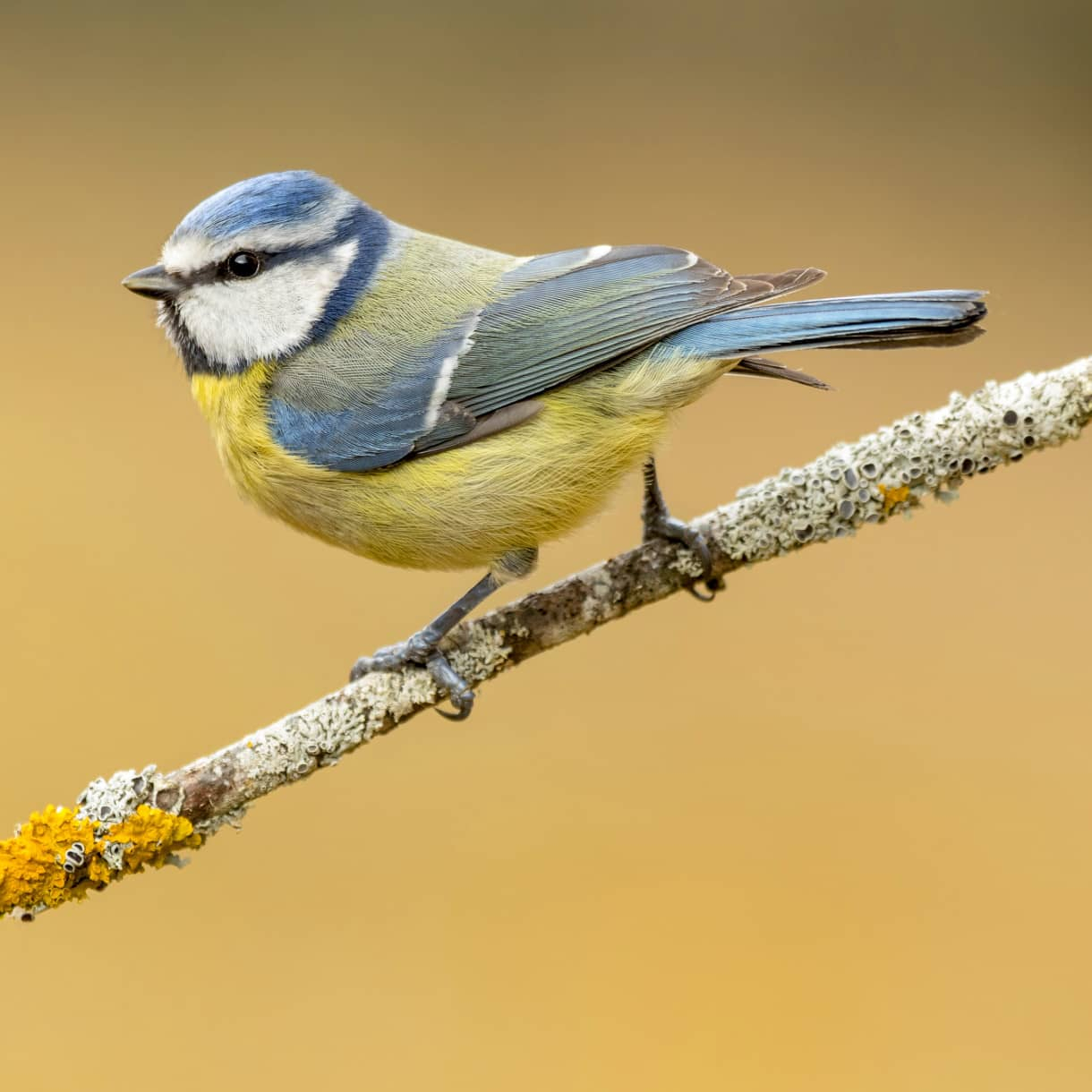 British Bird List Spreadsheet In Guide To The Tit Family  Attract More To Your Garden