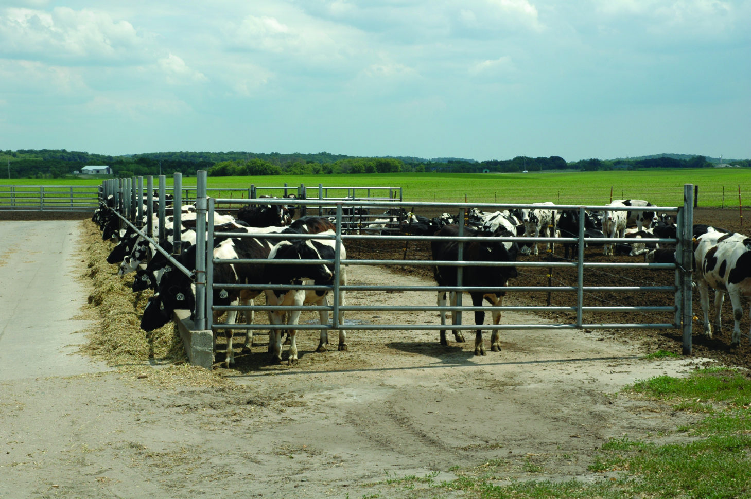 Cattle Herd Management Spreadsheet For The Double Whammy Of Raising Too Many Heifers  Dairy Herd Management