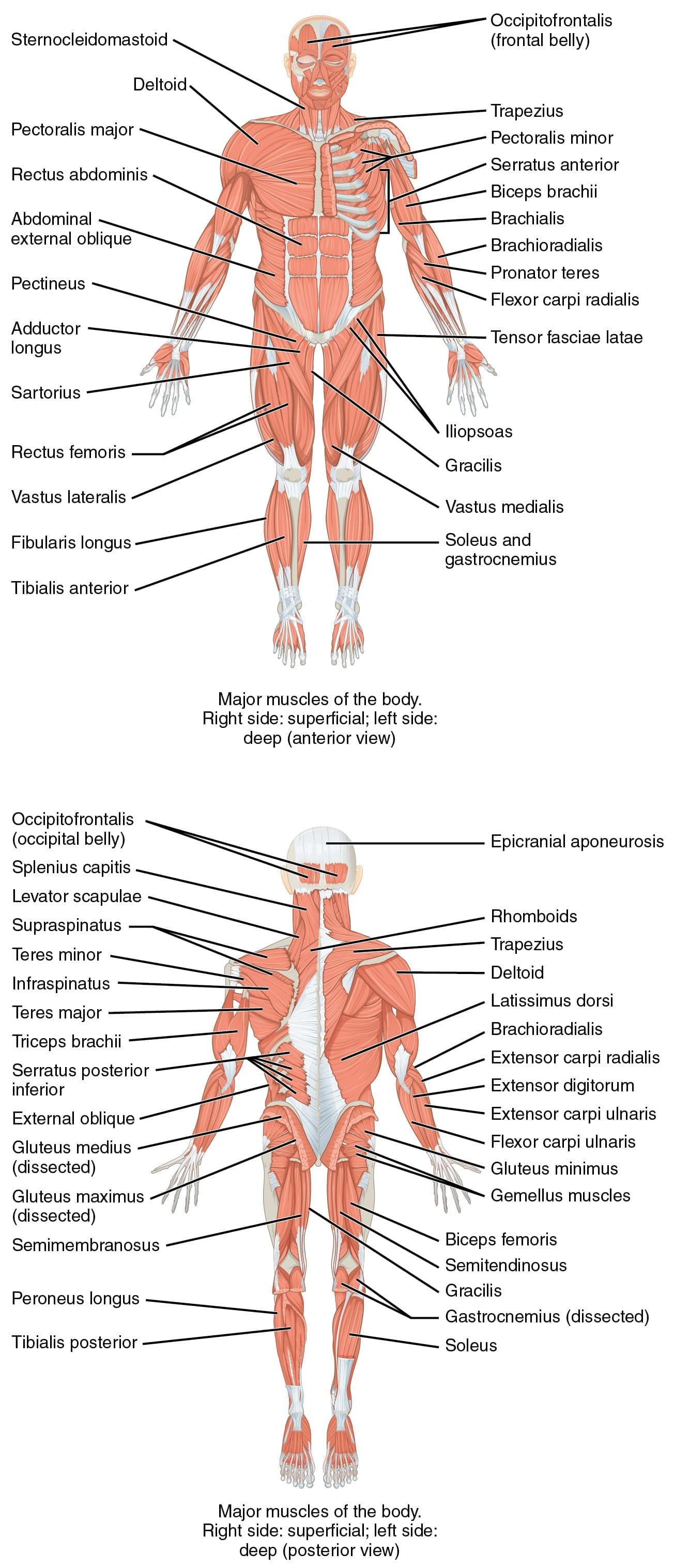 Unit 5 muscular system worksheet answer key