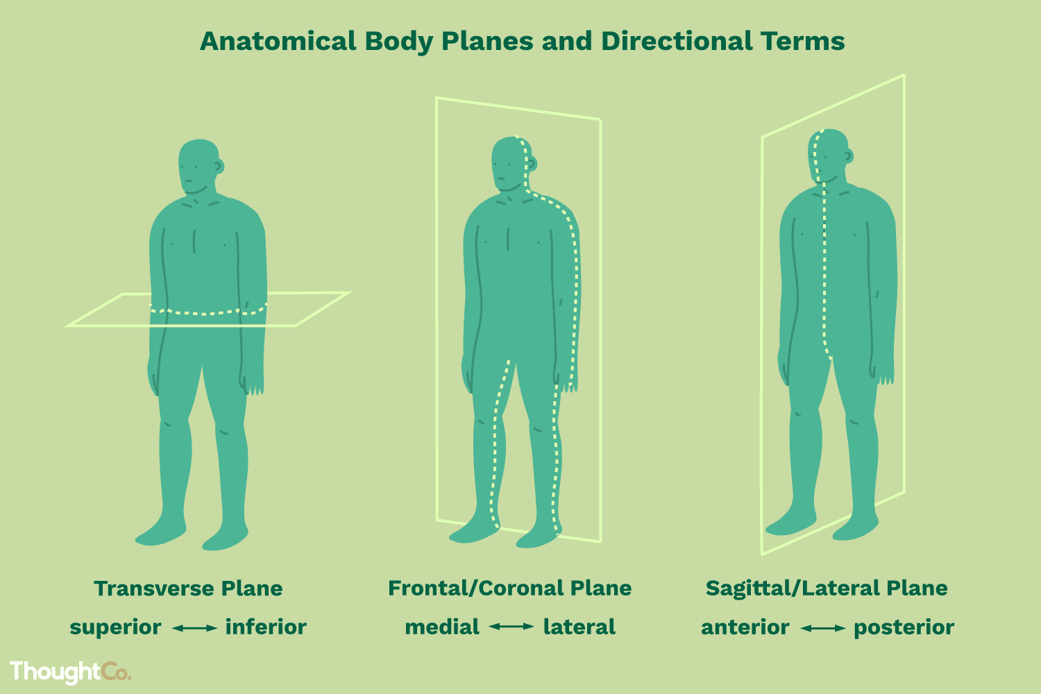 Anatomical Directional Terms And Body Planes — db-excel.com