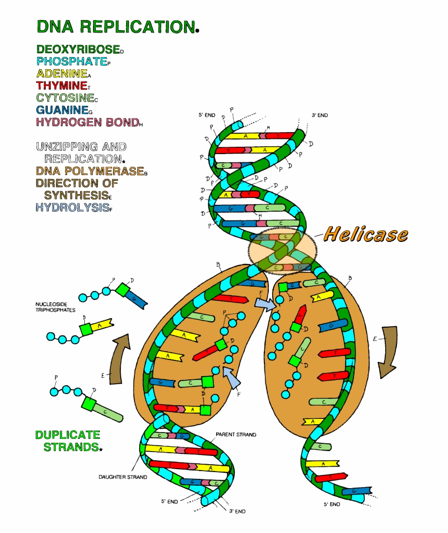 Dna The Double Helix Coloring Worksheet Answers - db-excel.com