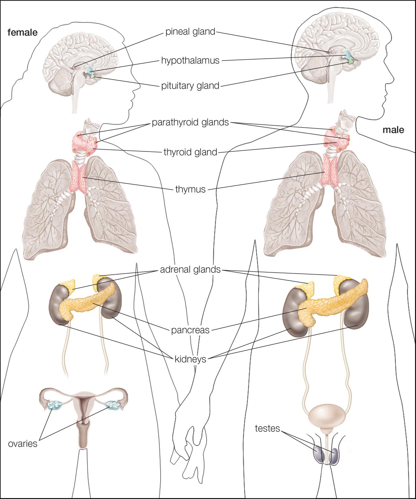 Human Endocrine Hormones Worksheet Key — db excel.com