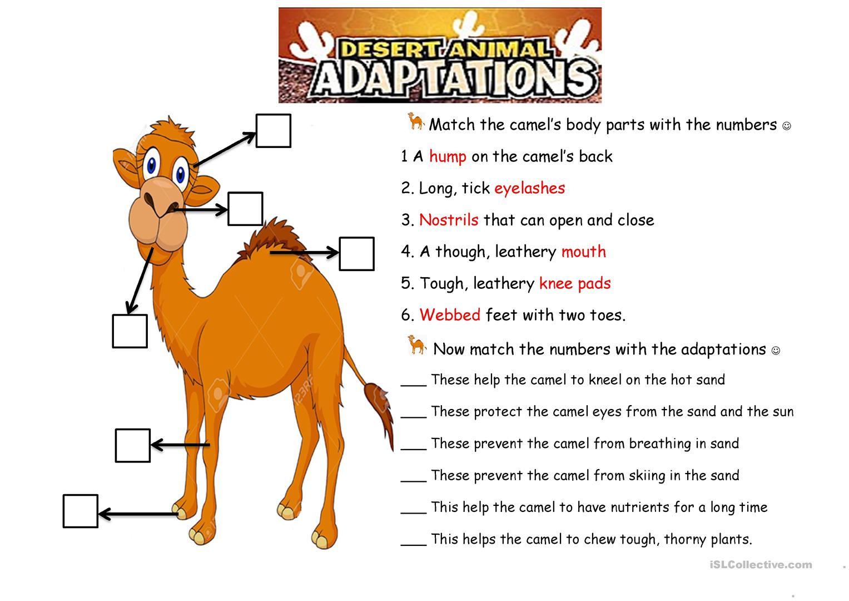 The Camel Animals Adaptations  English Esl Worksheets